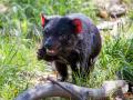 tasmanischer-teufel_25025371592_o